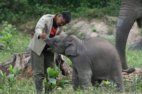 Man playing with a young Sumatran elephant in Tesso Nilo National Park, Indonesia