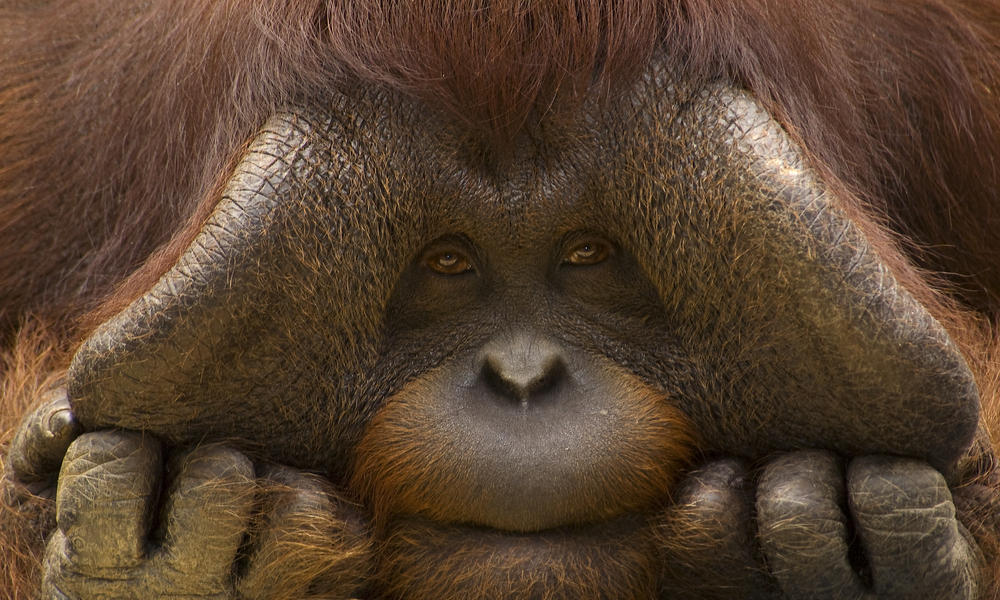 Bornean Orangutan