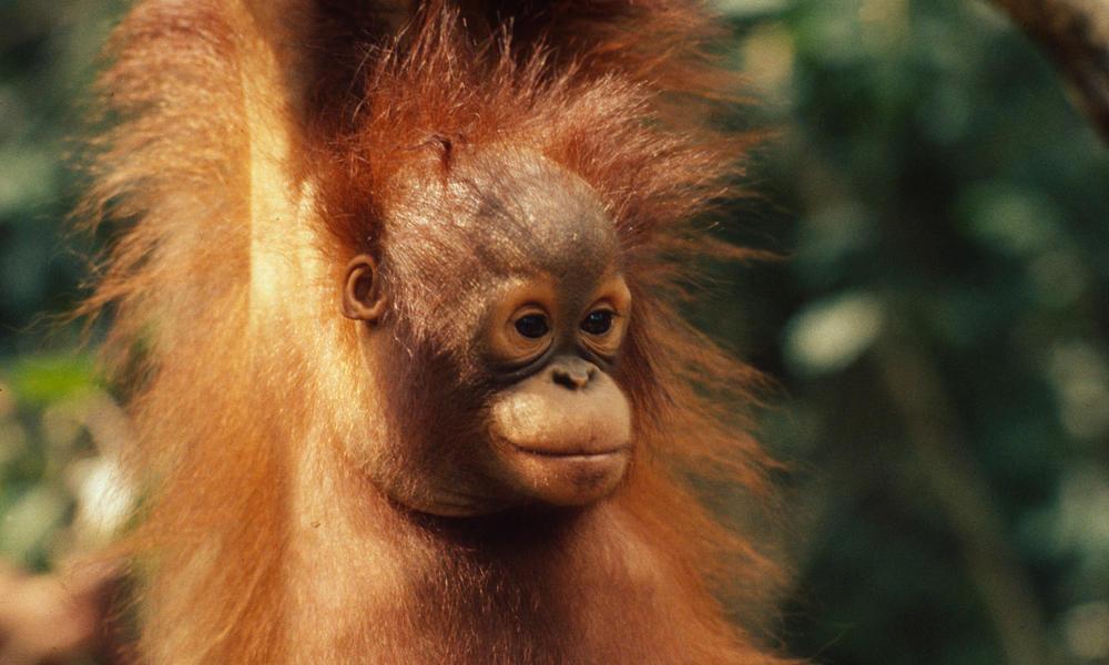 Bornean_orangutan_8.1.2012_whytheymatter2_hi_18817