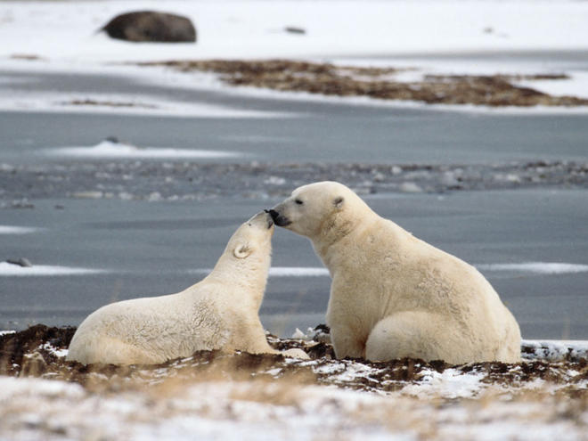 Polar bear adult with young in Hudson Bay, Canada