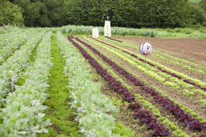 Salad crops growing in Dorset.