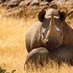 Black rhino mother and calf in a field