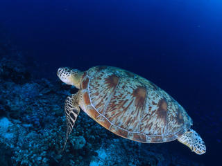 Chelonia mydas Common green turtle Swimming Indo Pacific Ocean.