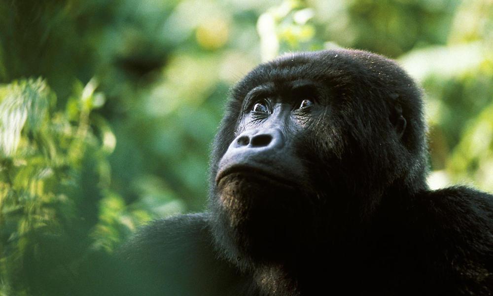 Blackback Eastern lowland gorilla (Gorilla gorilla graueri) Kahuzi Biega, Congo