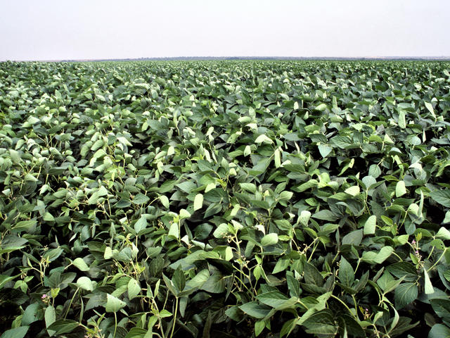 Green soy leaves, Rondonópolis, Brazil