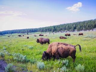 Bison_Story_297667280
