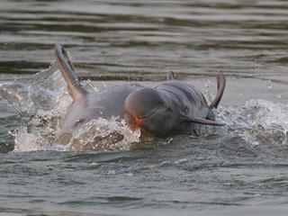 Irrawaddy Dolphin_Story_07052016