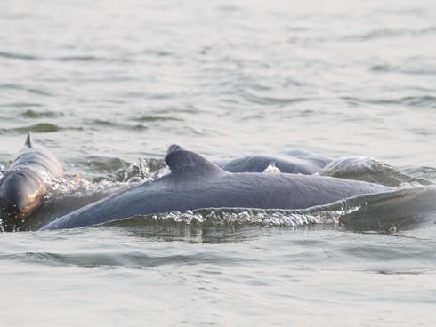 newborn Irawaddy dolphin