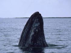 Web_8233gray-whale-circle