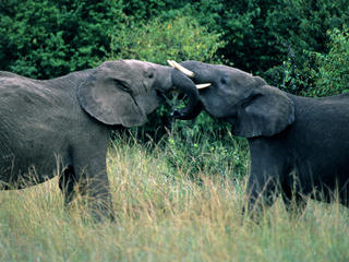 Two male African elephants (Loxodonta africana) with locked trunks. Kenya.