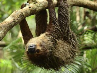 sloth hanging