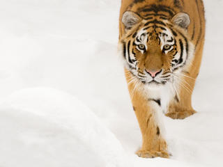 Siberian tiger walking in snow