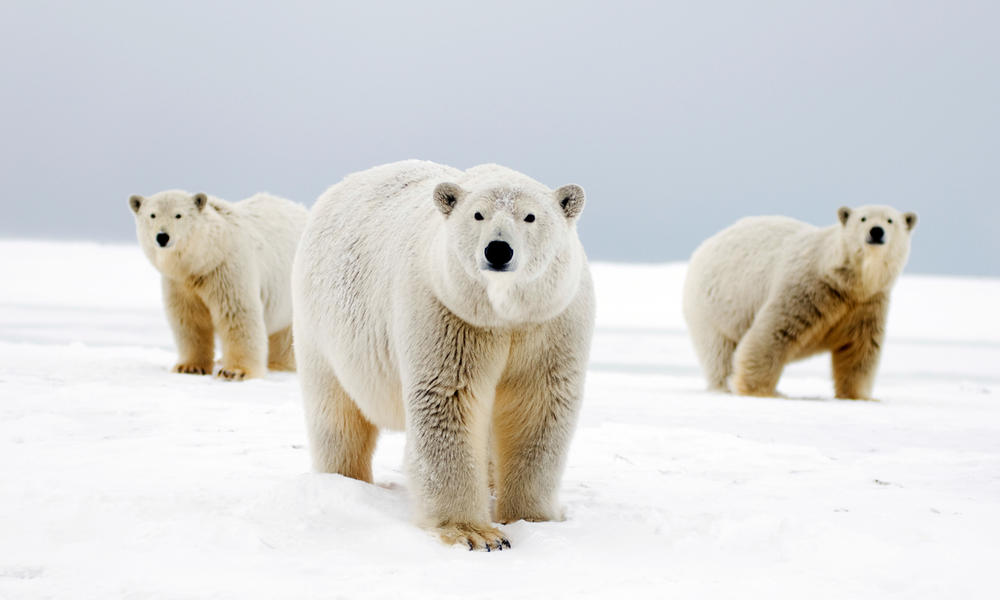 cdb596c1a Why do polar bears have white fur  And nine other polar bear facts ...
