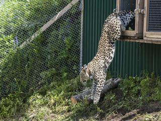 Leopard jumps Winter 2016 Magazine