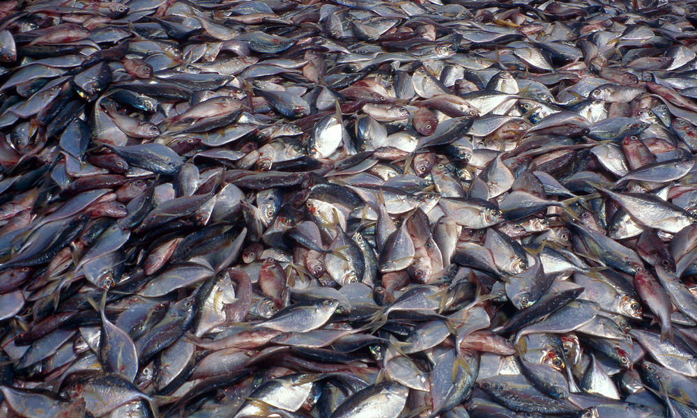 Overfishing, Piles of fish on Kayar beach, Senegal.