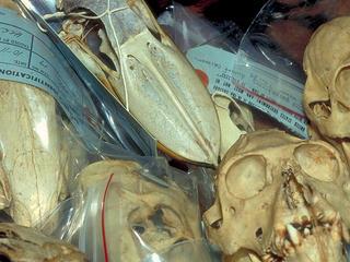 Illegal wildlife trade. Skulls (Apes, birds etc.) seized at customs.