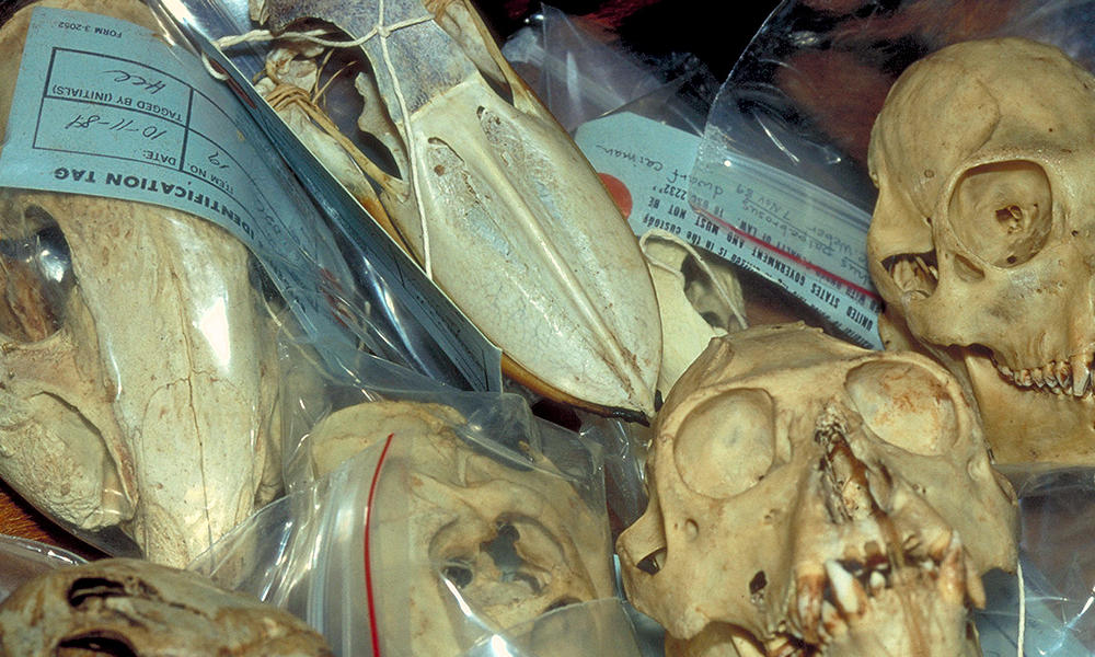 Illegal wildlife trade. Skulls (Apes, birds etc.) seized at customs.