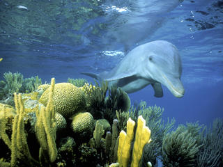 bottlenose dolphin swimming in Belize
