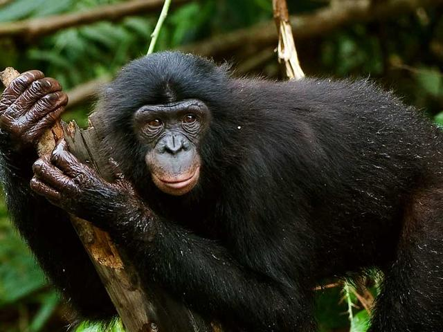 Bonobo