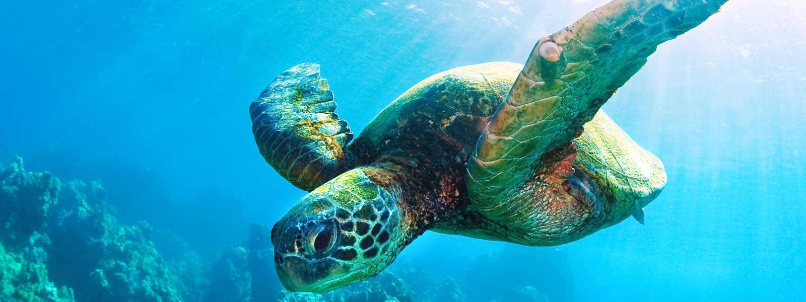Sea turtle species wwf for Turtle fish games