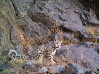 snow leopard blends into landscape