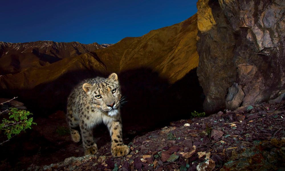 Where do snow leopards live? And nine other snow leopard facts