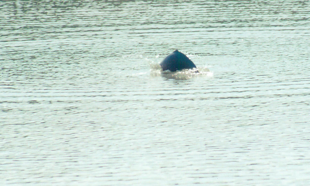 Indus River Dolphin