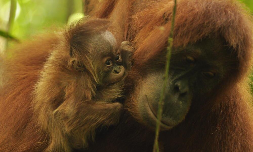 Orangutan Violet with her newborn baby