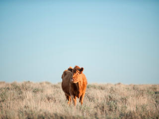 A cow standing in the grasslands of Montana