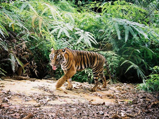A young Sumatran tiger in Bukit Betabuh Protection Forest