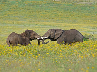 Elephants linking trunks in a field