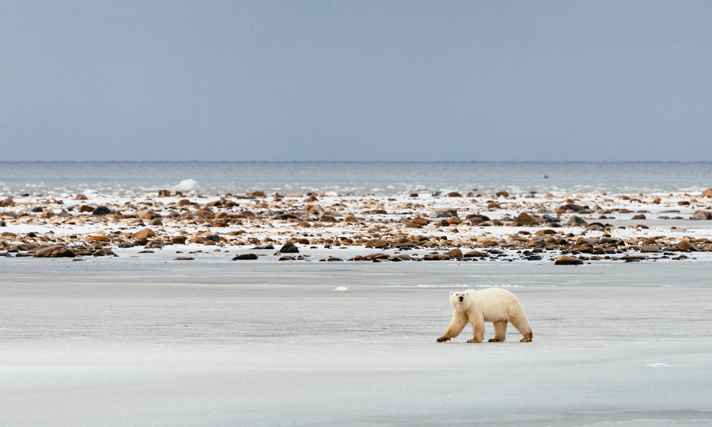 83710648 Record low sea ice impacts polar bears | Stories | WWF