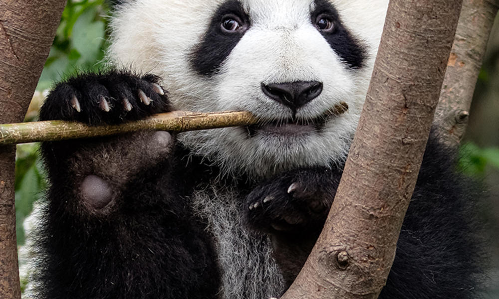 What Do Pandas Eat And Other Giant Panda Facts Stories Wwf