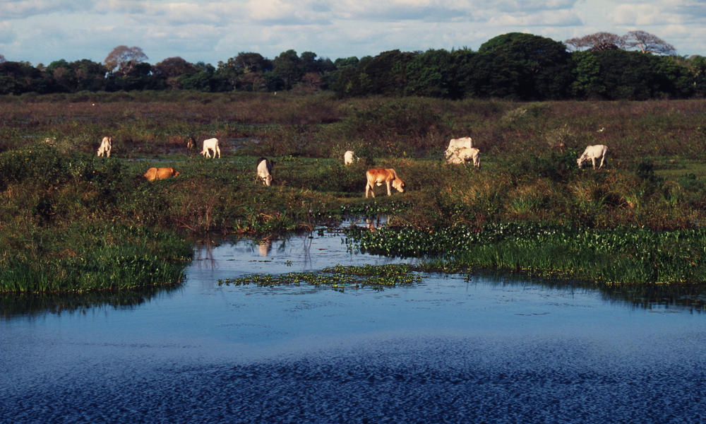 cattle along a river in Paraguay