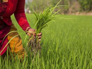 Harveting crops