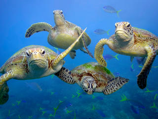 Green turtles in the ocean.