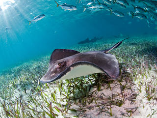 A sting ray, nurse shark and jacks in the ocean in Belize.
