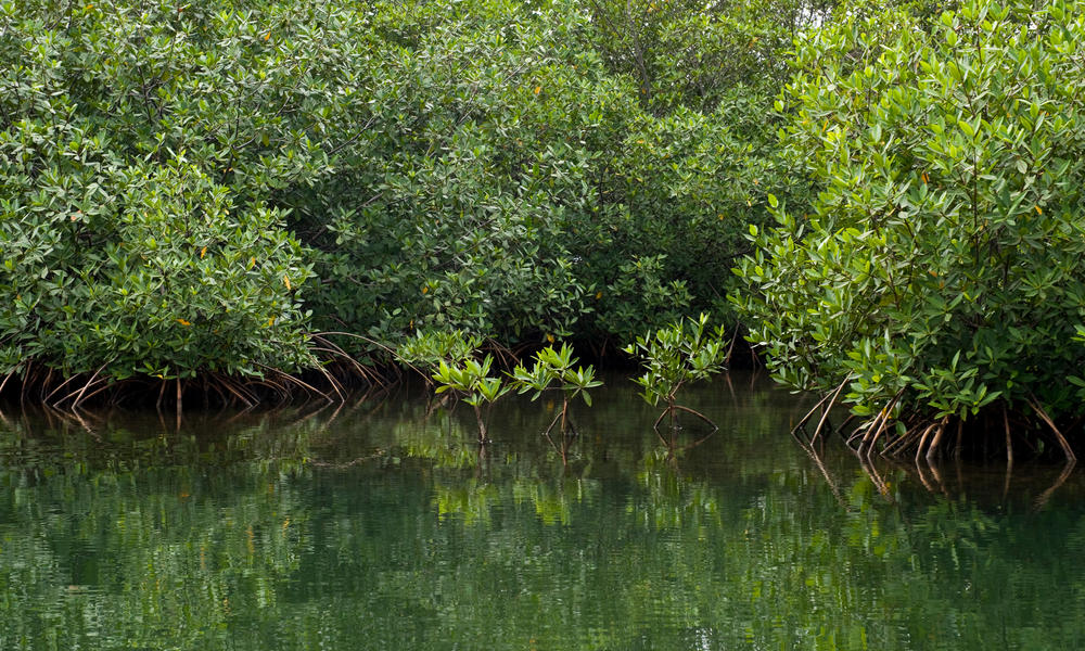 Short essay on Conservation of Mangroves