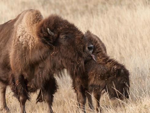 Bison licking a calf