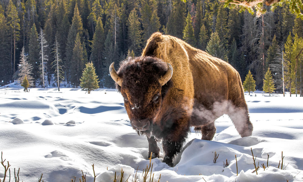 A bison in the snow in Yellowstone National Park.