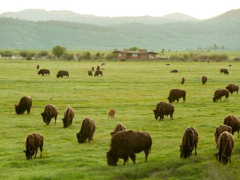 Bison in Grand Teton mountain range