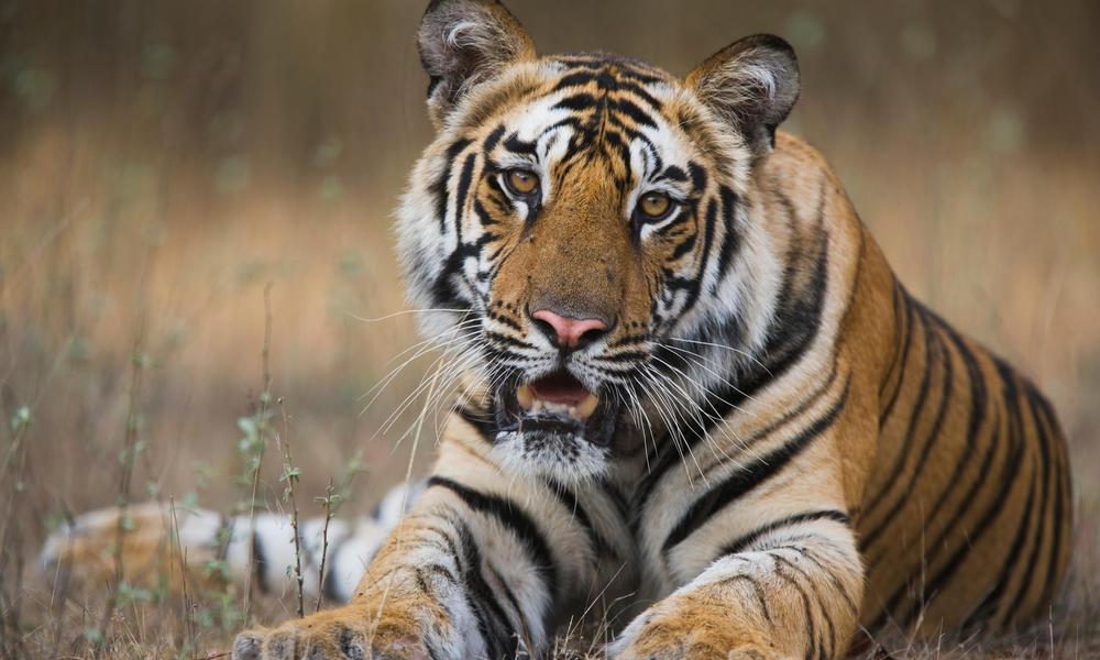 tiger sitting in field