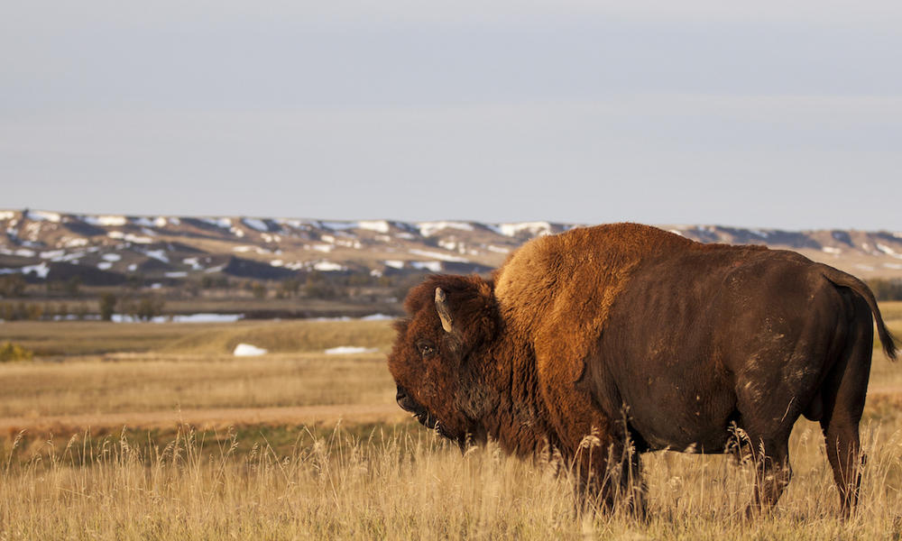 Rosebud Sioux Tribe Welcome First Bison Home to Wolakota Buffalo Range