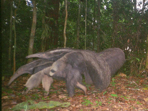 Giant anteater and baby