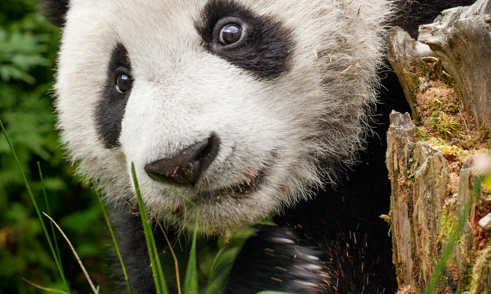 Giant panda habitat facts