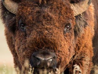 Close-up of bison in Badlands