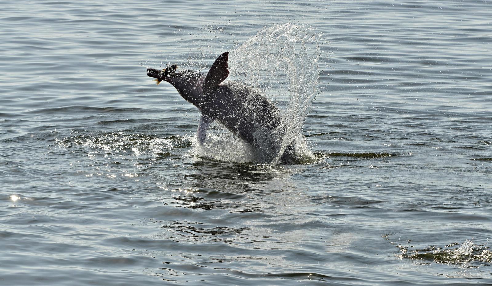 Rsz 1br5050ag golfinho saltando adrianogambarini expedgolfinhosdotapajos2014 edit