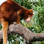 Tree Kangaroo
