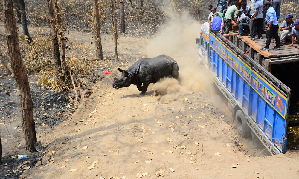 Greater one-horned rhino moved to new home in Nepal | Stories | WWF