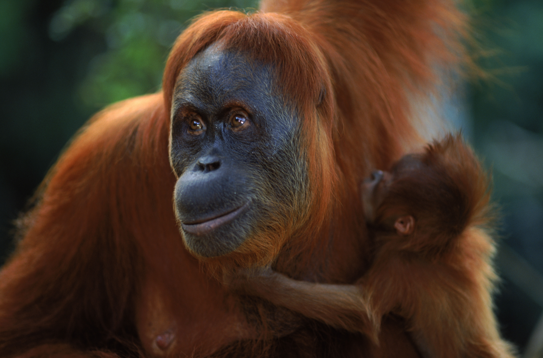 Orangutan Sumatera Sumatran Orangu...